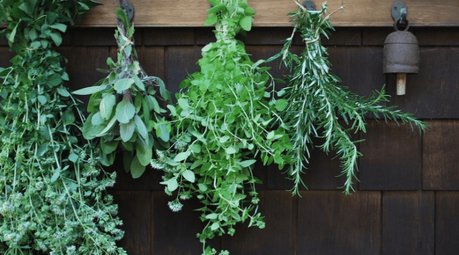 aromatic herbs hanging to dry outdoors serve as mosquito repellents in the garden