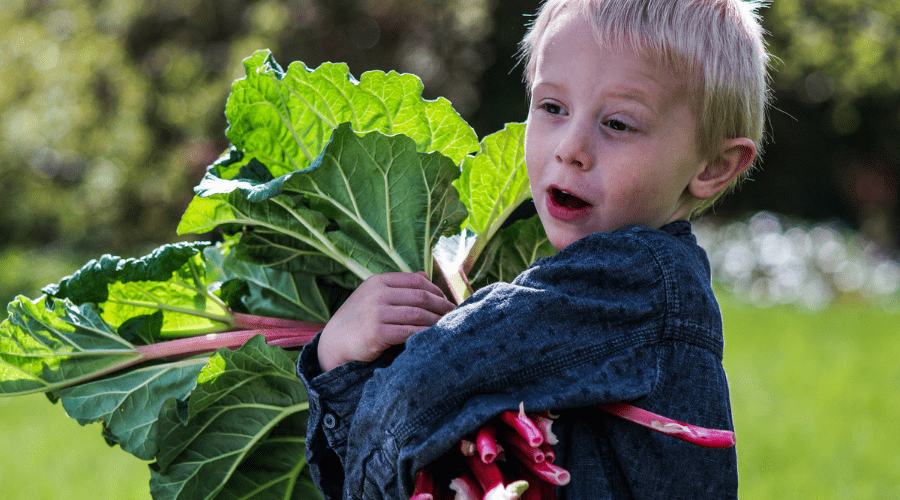 Featured Image - CAN I GROW RHUBARB IN A CONTAINER_