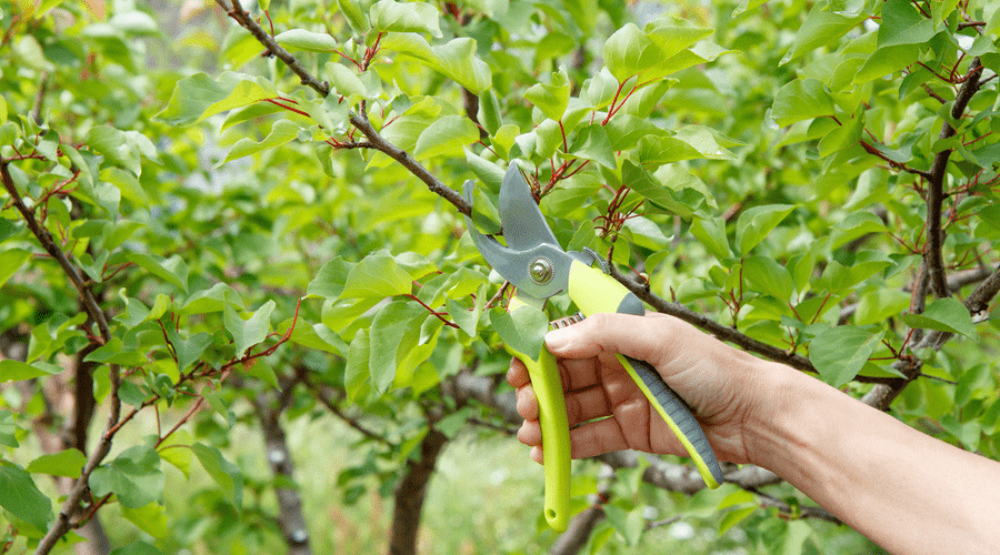 Featured Image - BENEFITS OF PRUNING FRUIT TREES