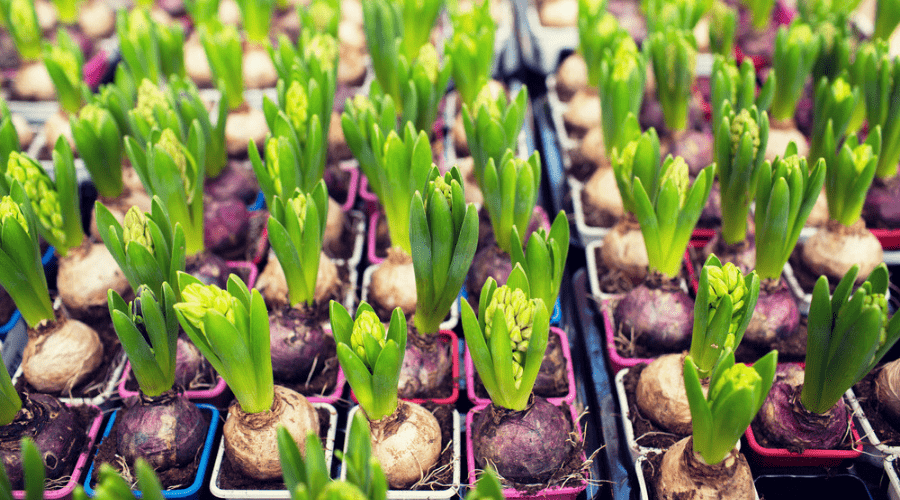 Featured Image - HOW TO PLANT AND STORE BULBS