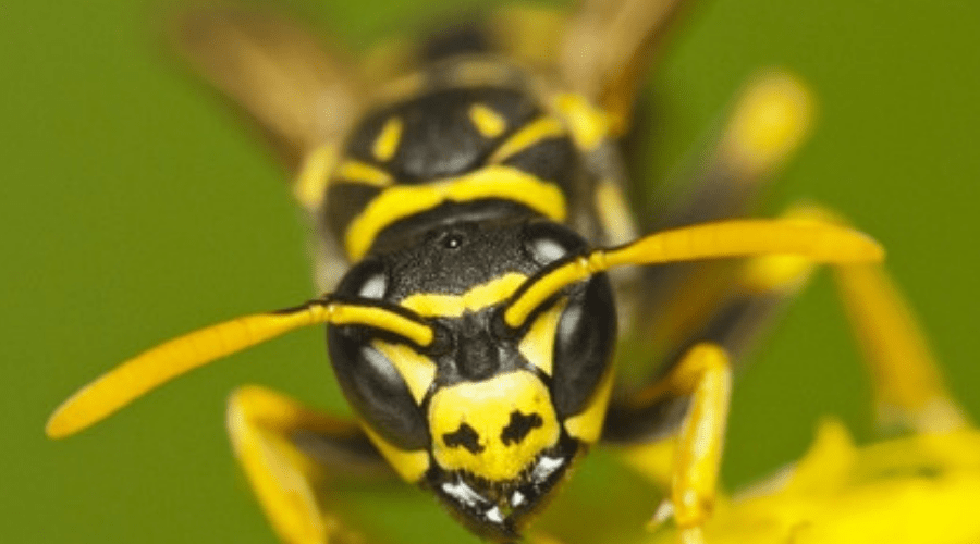 Featured Image - HOW TO DEAL WITH YELLOW JACKETS
