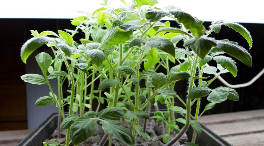 Featured Image - EVERYTHING YOU NEED TO KNOW ABOUT GROWING PLANTS UNDER LIGHTS