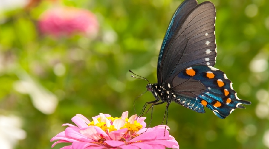 Featured Image _ 26 OF THE BEST PERENNIAL GARDEN BUTTERFLY PLANTS_ #19 IS GORGEOUS!