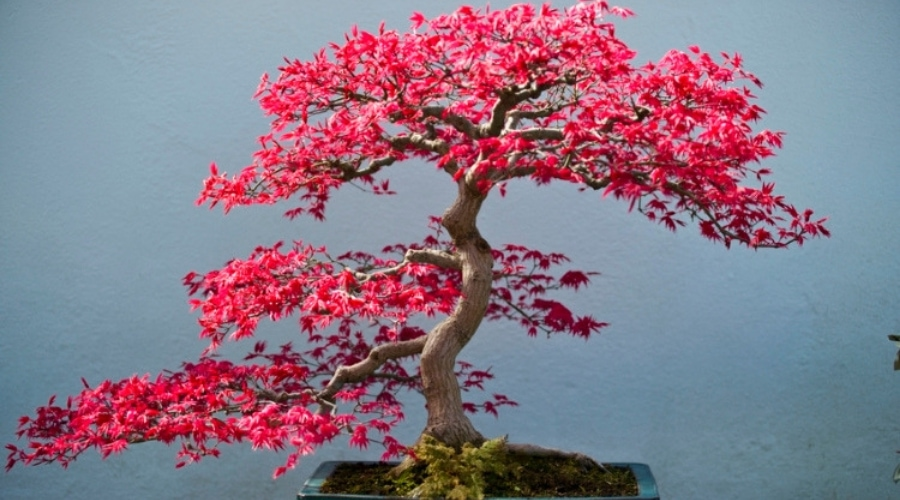 Featured Image - Pink Bonsai Trees_ 43 Colorful Choices for Landscape Variety