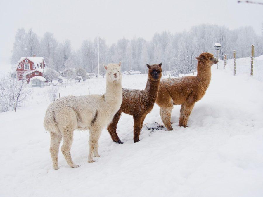 alpaca farm in winter with deep snow