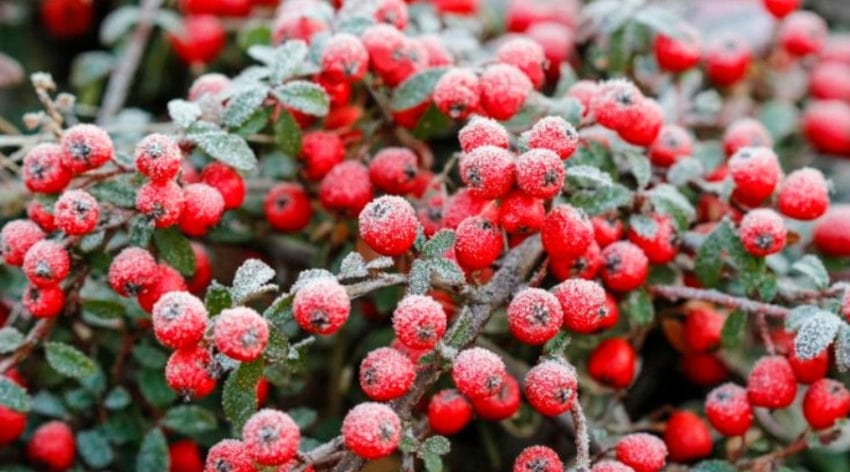 Featured Image - Cotoneaster Bonsai Growth and Care Guide