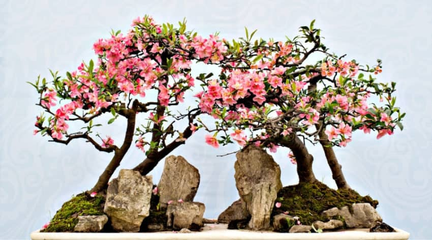 Featured Image - 75 of the Best Flowering Bonsai Tree Ideas_ #22 is Gorgeous!