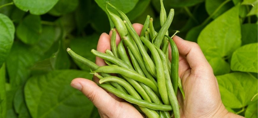 Featured Image- Growing and Caring for Green Beans