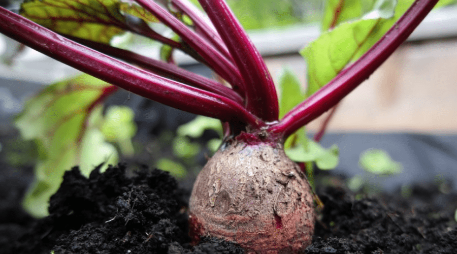 a beet ready to harvest in a fall garden