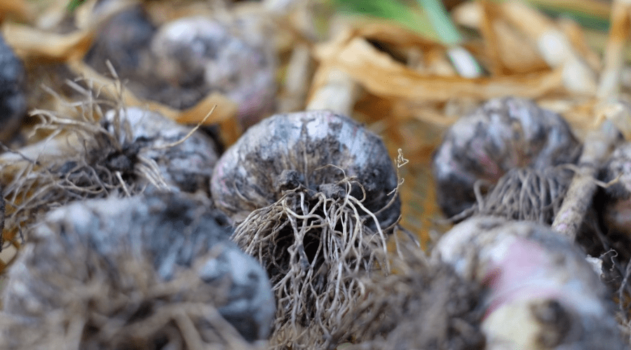 garlic harvested bulbs closeup from root end