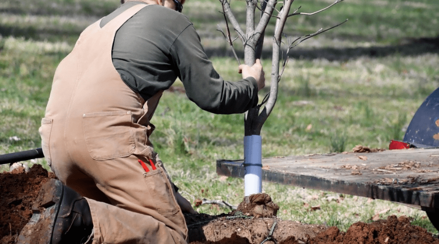 man planting tree in fall before frost freezes the soil