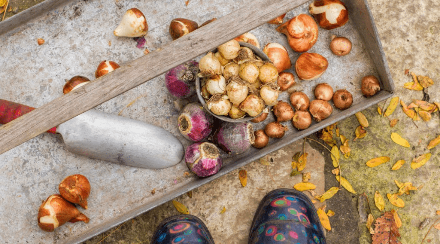 fall vegetables harvested include onion shallots beets turnips