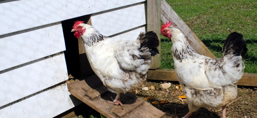 Want to Start a Chicken Coop Read This First! - two chickens going inside the chicken coop