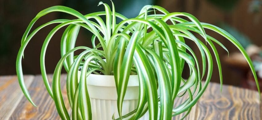 Spider Plant on the table