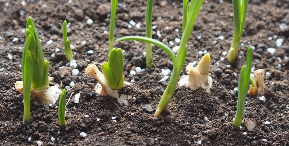 Garlic in Soil
