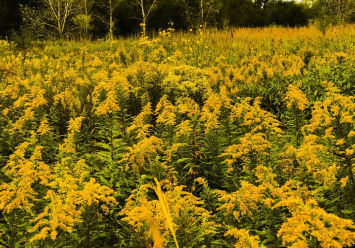 Goldenrod Prairie Native
