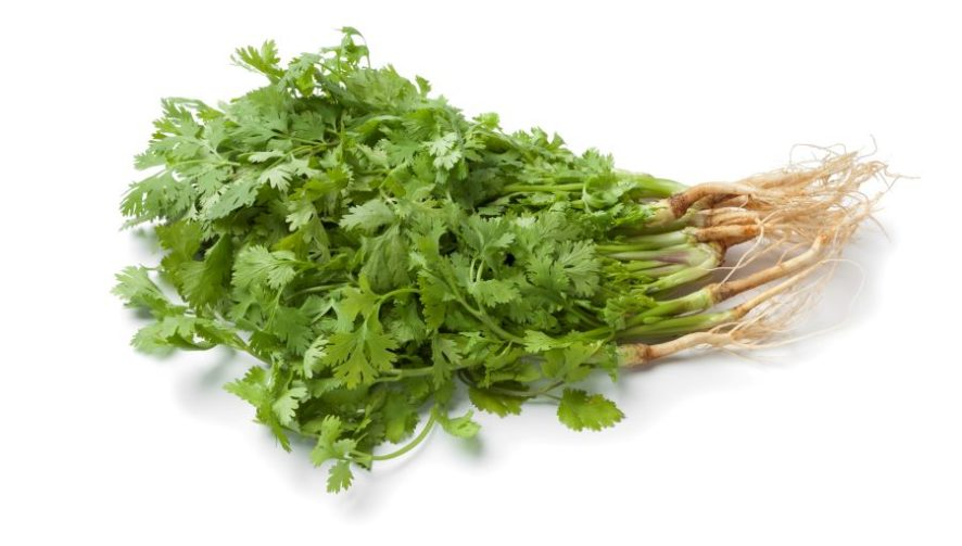 Cilantro with Roots