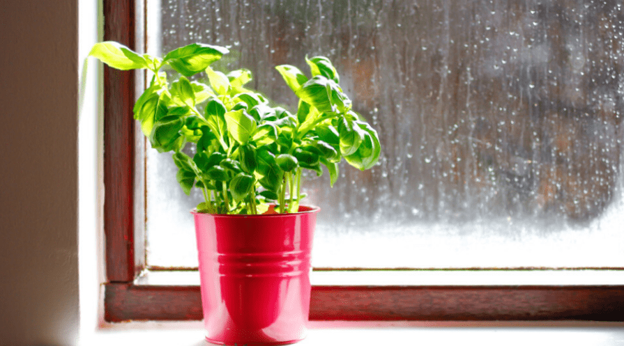 basil growing on a windowsill with rain in the background