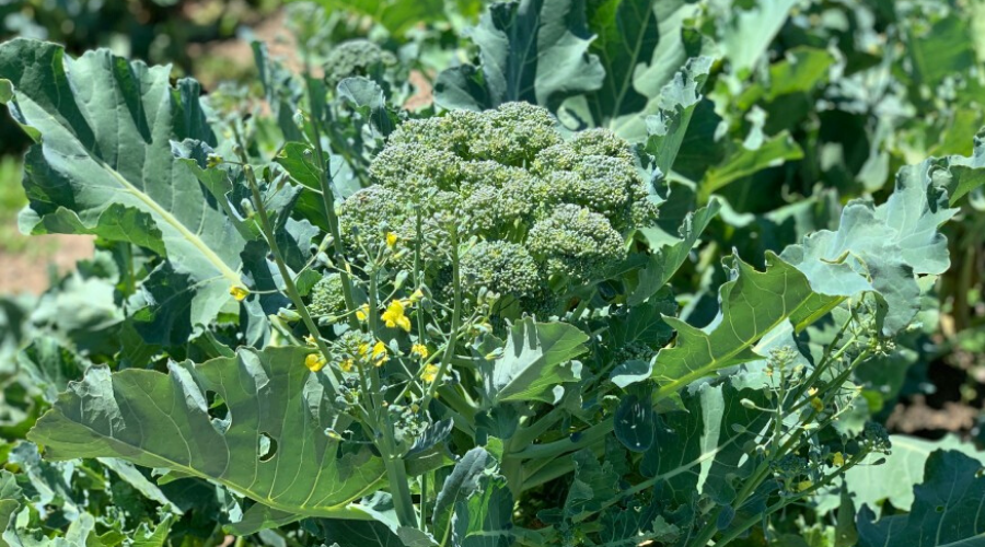 featured broccoli image
