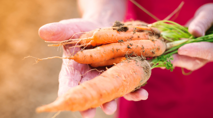 How to grow carrots – carrots featured image in the hand just harvested