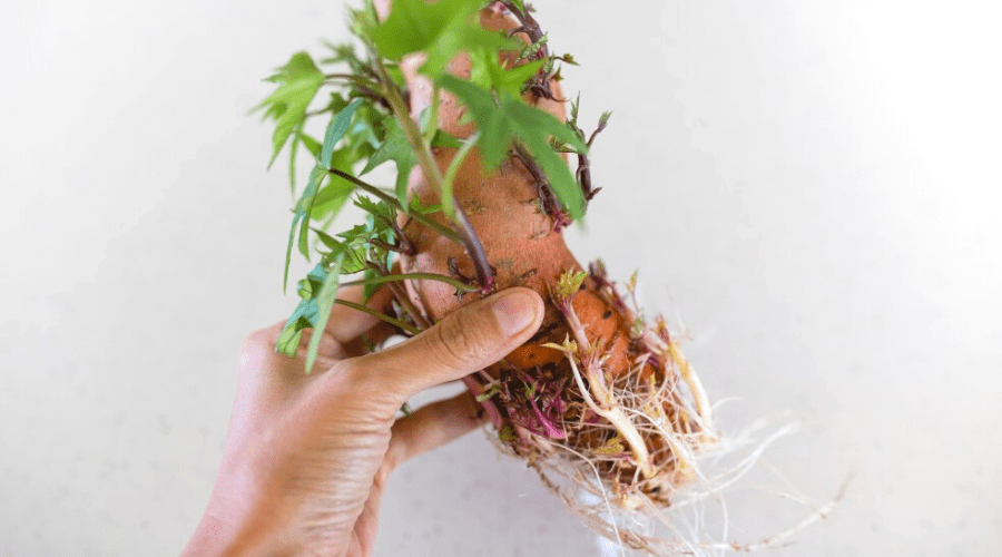 sweet potato sprouting slips to grow