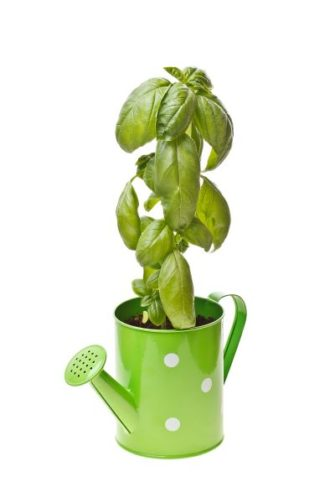 basil growing in a watering can