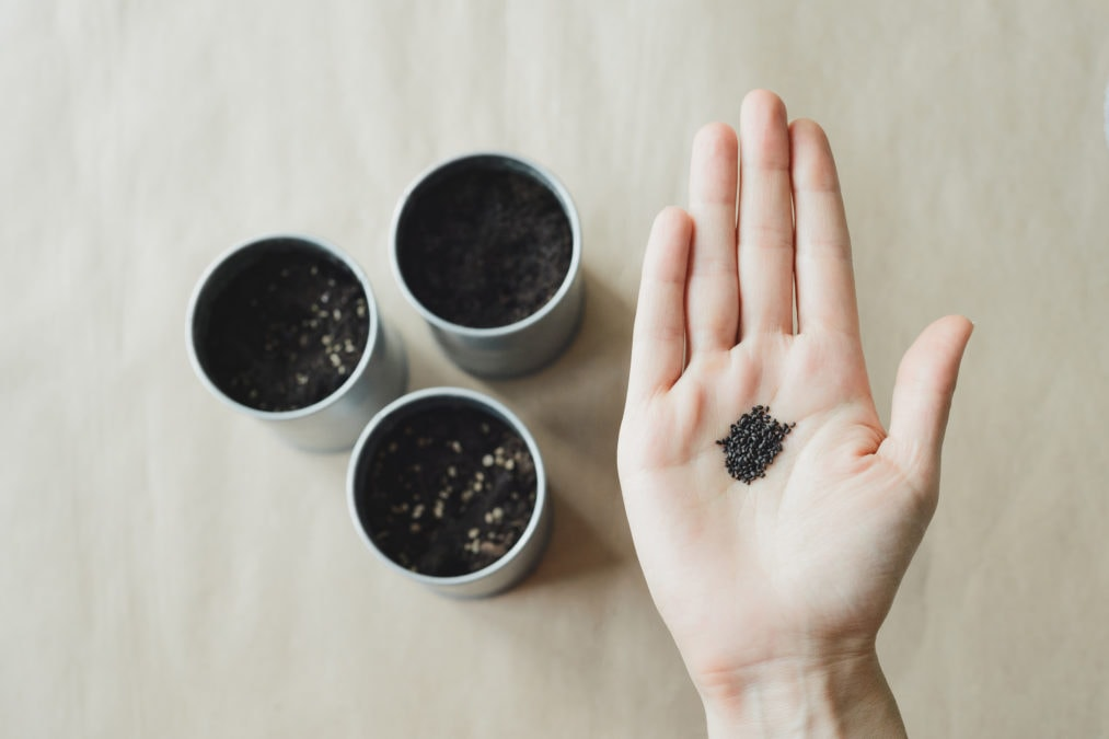 womans hands holds basil seeds