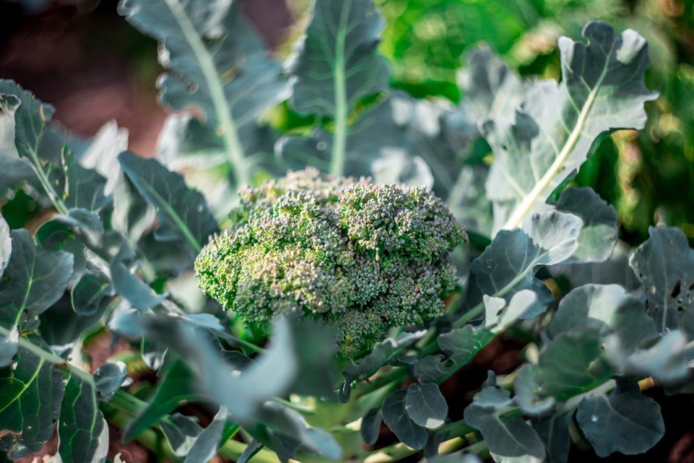 broccoli plant ready for harvest