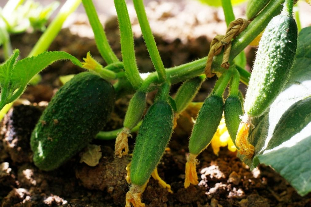 cucumbers grow quickly