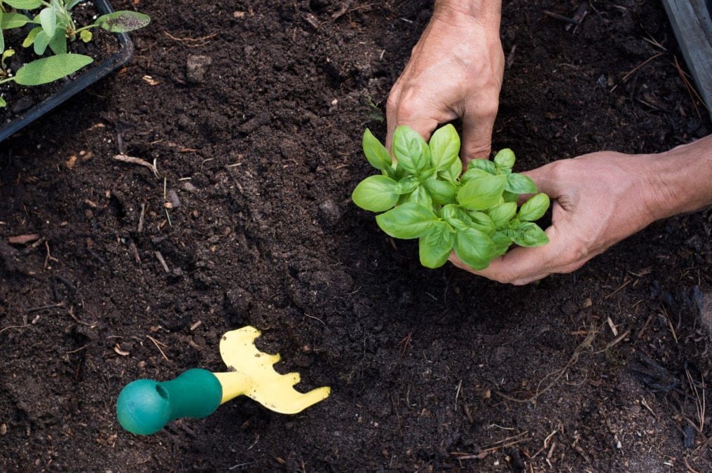 planting basil in a garden