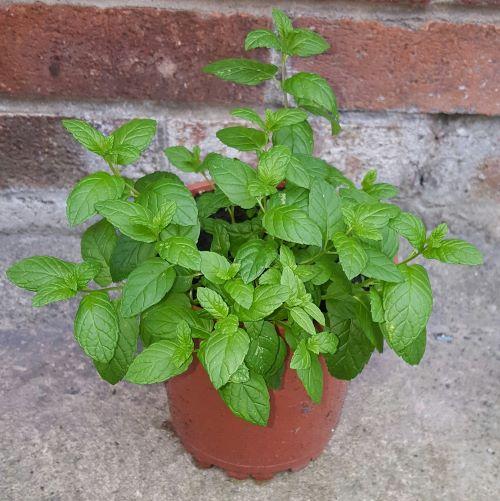 Mint growing in pot