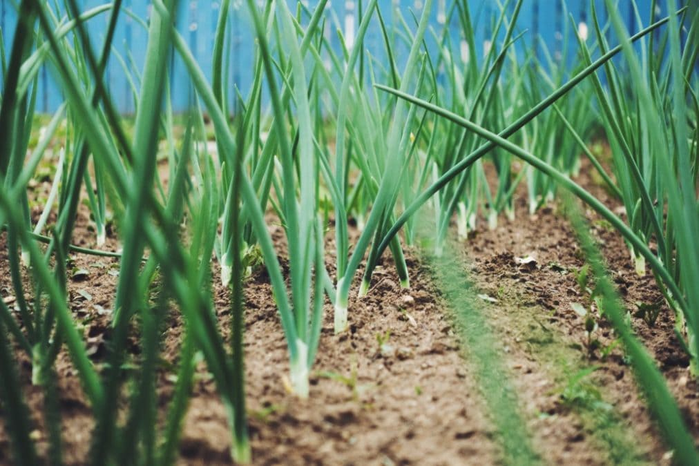 onion shoots coming out of the ground