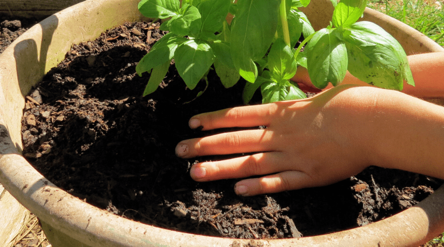 planting seedling in large container of soil
