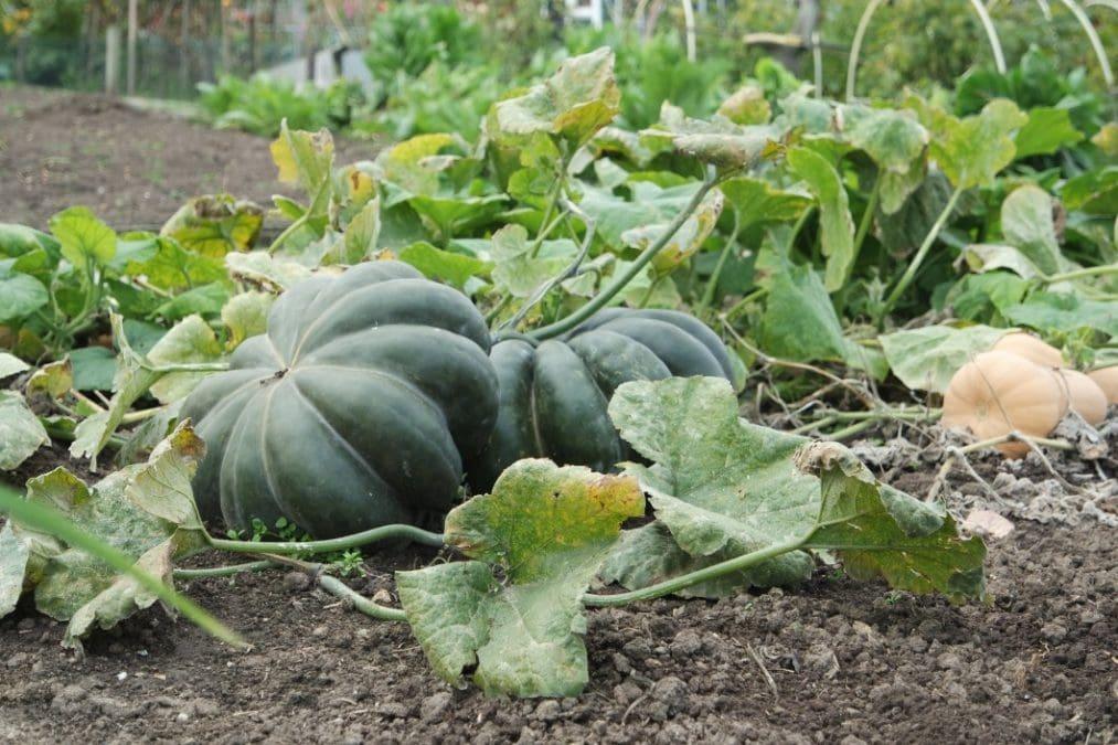 pumpkins grow green