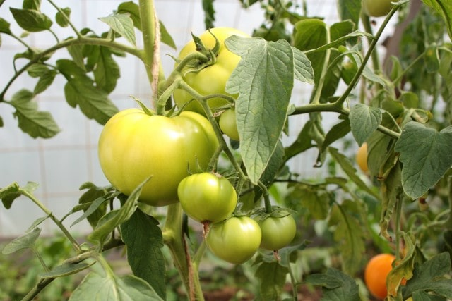 growing tomatoes is easy