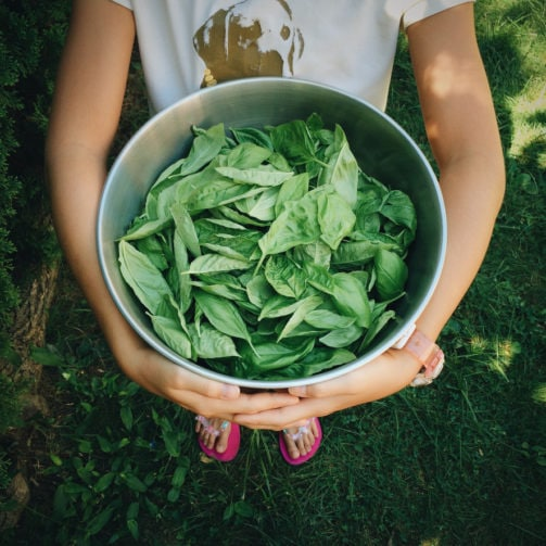 harvested basil in large metal bowl