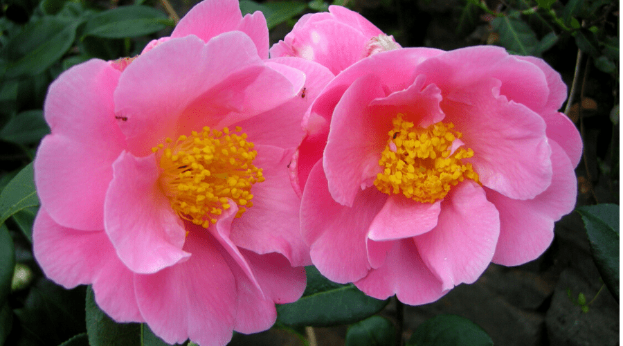 Two camellia Pink Icicle blooms flowers
