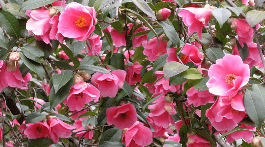 camellia elegant beauty plant in full bloom