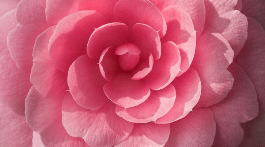 a macro shot of a uniform pink camellia flower
