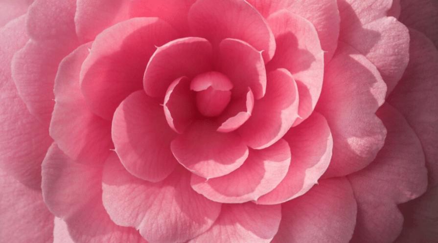 a macro shot of a uniform pink camellia flower