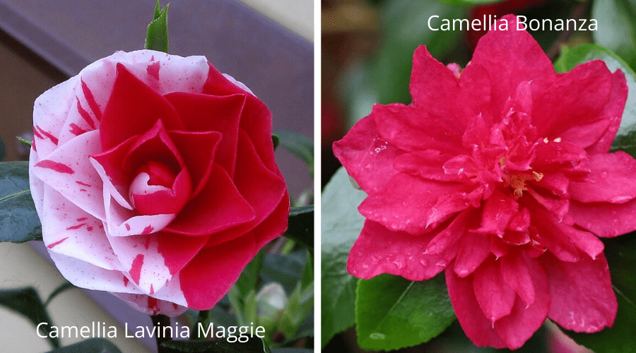 Camellias lavinia maggie and bonanza