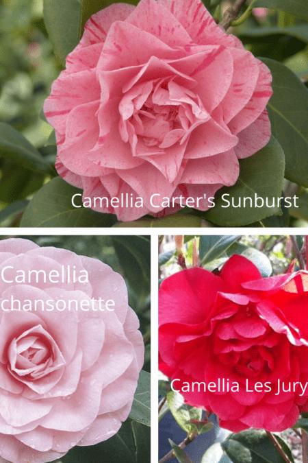 camellia carter's sunburt chansonette les jury