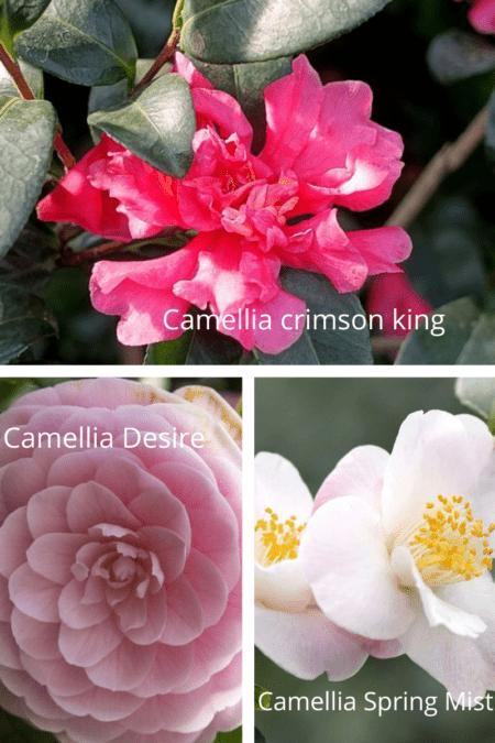camellia crimson king desire spring mist