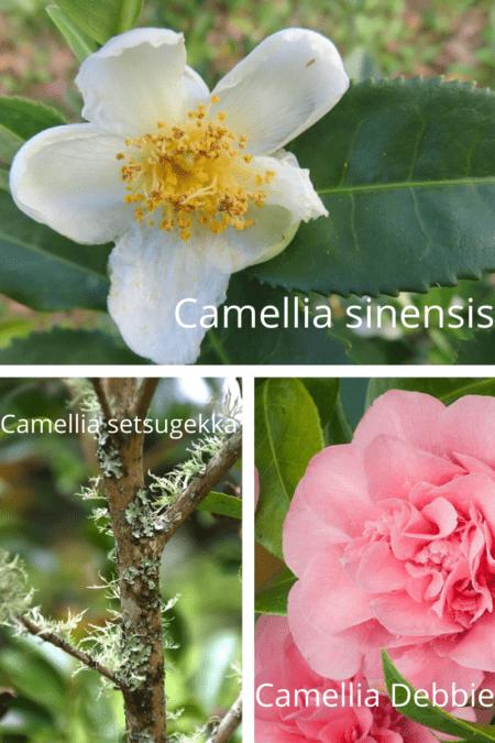 camellia sinensis setsugekka and debbie
