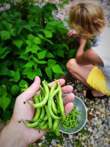 a handful of green beans in the foreground with a child picking beans in the background