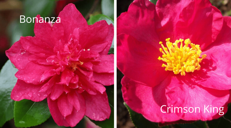 camellias labeled bonanza crimson king flowers