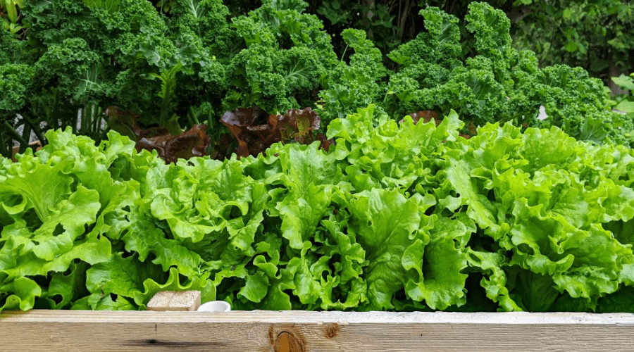 raised garden bed of lettuce kale green onions