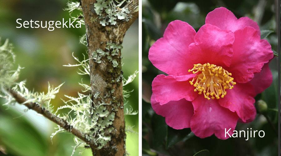 Camellia Setsugekka sasanqua kanjiro