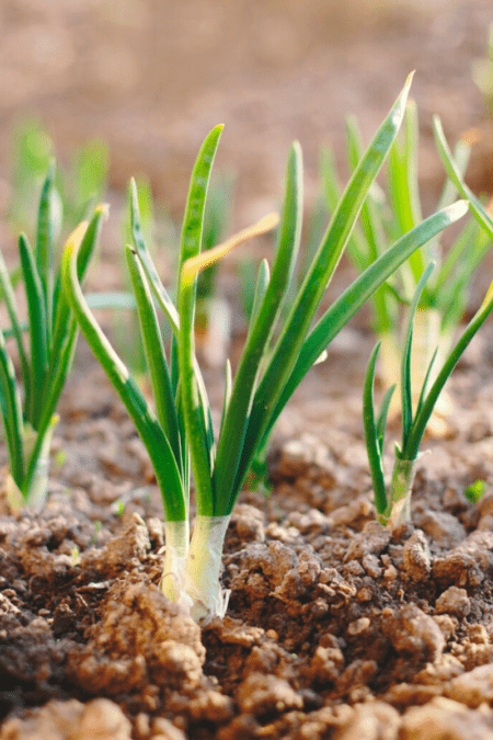 growing spring onions outdoors in soil
