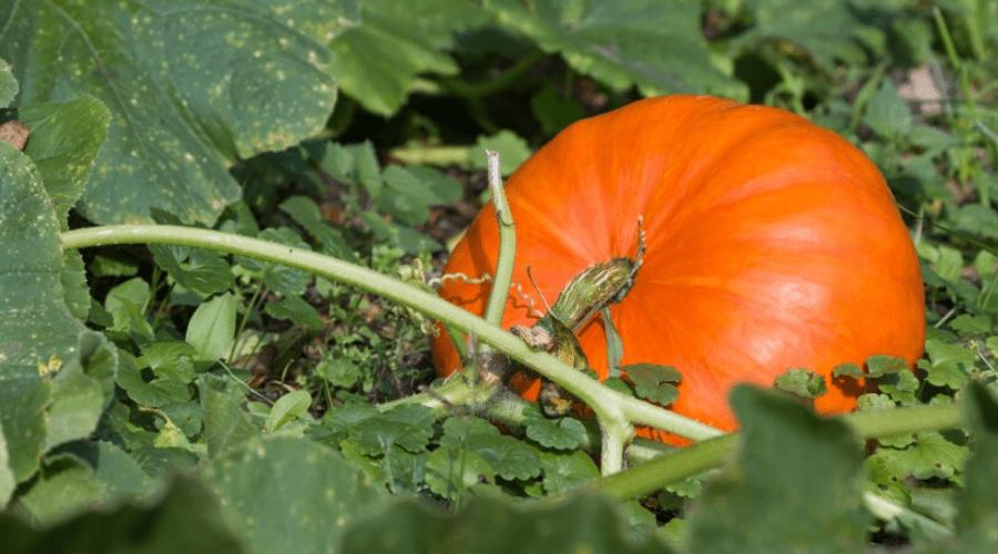 orange pumpkin growing outdoors on vine